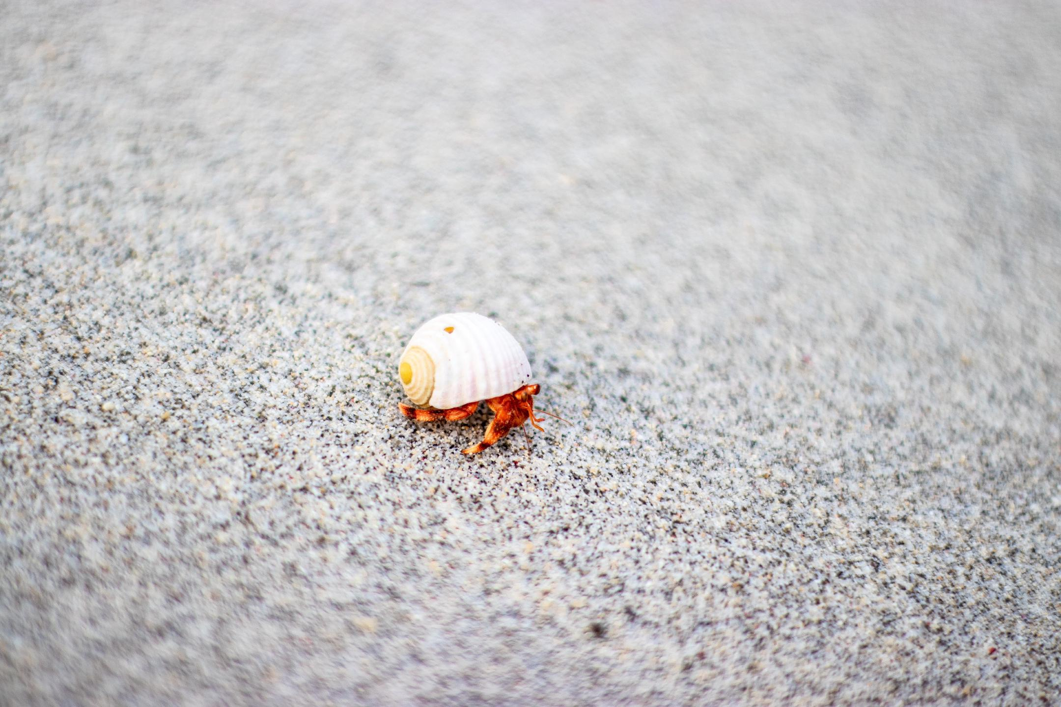 a small orange crab in a white shell walking across a sandy beach